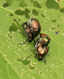Japanese Beetles AU12 #5184