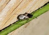Blissus leucopterus AU12 #7984