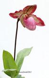 Paphiopedilum Species & Hybrids
