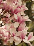 Magnolia MY13 #6111