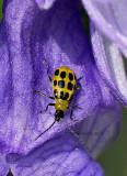 Spotted Cucumber Beetle on Monkshood O13 #4852