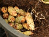 Squirrel Cache-Cones In Iris Pot AU13 #2897