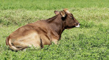 Cow - Jersey O13 #5502