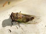 Dog Day Cicada JL13 #0035