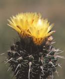 Notocactus sub-mammulosus
