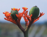 Jatropha podagrica seed pods