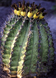 Barrel Cactus with Seed Pods (MEXPHO)