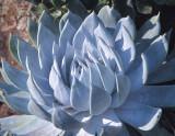 Dudleya brittonii (MEXPHO)