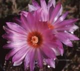 Mamillaria-flower (MEXPHO).