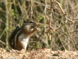 Harris Antelope Squirrel  #0259 Jan 22/06