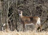White-tailed Deer MR14 #6256