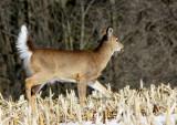 White-tailed Deer MR14 #6248