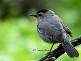 Mockingbirds, Thrashers and Catbirds