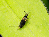 Mordellochroa scapularis MY14 #9496