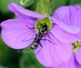 Ant on Aubrieta MY14 #7238