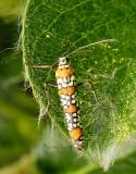 Ailanthus webworm Moth MY14 #9301