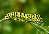 Black Swallowtail JN14 #2859