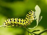 Black Swallowtail JN14 #2877