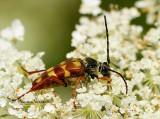 Flower Longhorn Beetle - Typocerus velutinus AU14 #0240