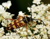 Flower Longhorn Beetle - Typocerus velutinus AU14 #0250