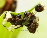 Lily Leaf Beetle-Larval damage  JN14 #2398