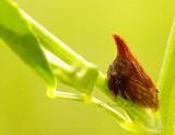 Campylenchia latipes AU14 #8333