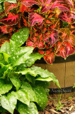 Coleus and Pulmonaria JL14 #5621
