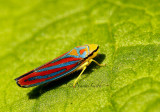 Graphocephala coccinea JN15 #3187