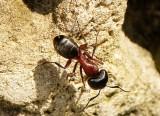 Camponotus novaeboracensis JN15 #1703