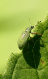 Green Immigrant Leaf Weevil JN15 #1881