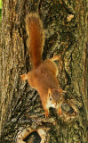 Red Squirrel JN15 #1828