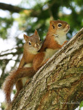 Red Squirrels JN15 #1860