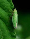 Draeculacephala antica AU15 #4344