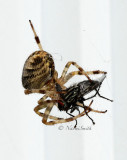 Araneus diadematus AU15 #5445