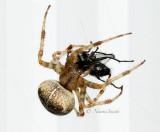 Araneus diadematus AU15 #5447
