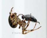 Araneus diadematus AU15 #5452
