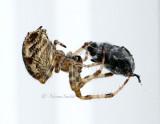 Araneus diadematus AU15 #5457