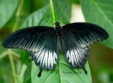 Asian Swallowtail - Papilio lowi MR16 #9913