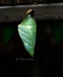 Emerald Swallowtail - Papilio palinurus MR16 #9654