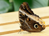 Owl Butterfly -- Caligo sp. MR16 #9673