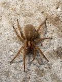 Wolf Spider MY16 5887