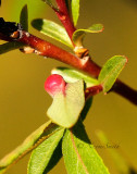 Willow Gall MY16 #6008