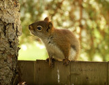 Red Squirrel MY16 #6110
