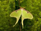 Actias luna - Luna Moth MY16 #7010