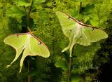 Actias luna - Luna Moths MY16 #7026