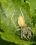 Sac Spider JN16 #8982