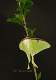 Actias luna - Luna Moth JN16 #8026