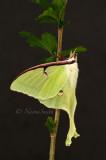 Actias luna - Luna Moth JN16 #8046