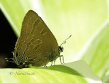 Banded or Hickory Hairstreak JL16 #4036