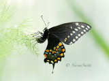 Black Swallowtail AU16 #2949